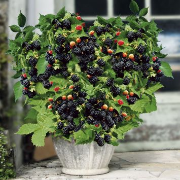 Zwerg-Brombeere Lowberry®  'Little Black Prince®'