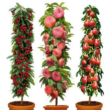 Sparset: 3 Säulen-Bäume 1j. Rubina, Decora, Pinocchio