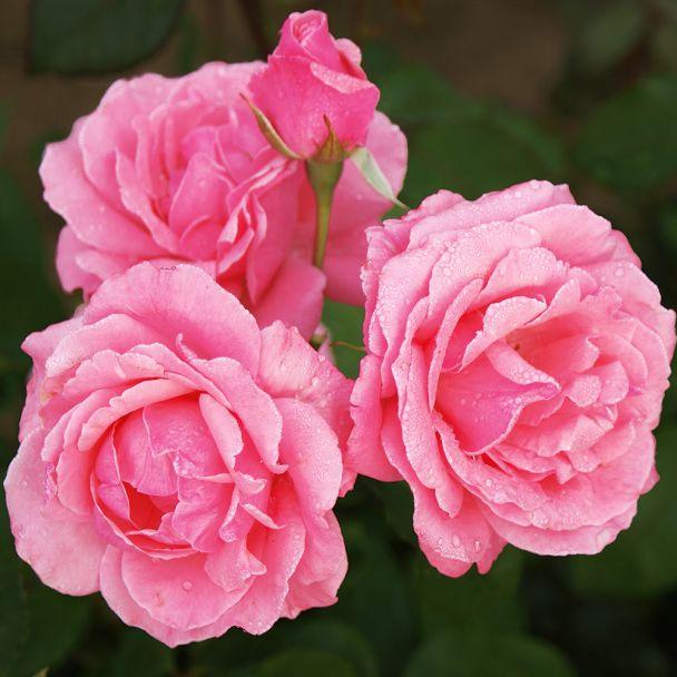 Beetrose 'The Queen Elizabeth Rose®', Container