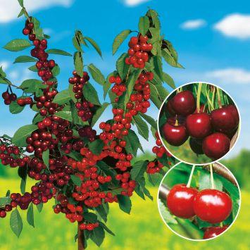 Süßkirsch-Sauerkirsch Duo -Obstbaum