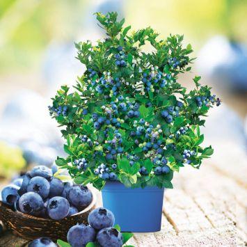 Sparangebot: Topf-Heidelbeere Joly Berry® 'Big Blue Wonder' mit Topf 'Cylindro'