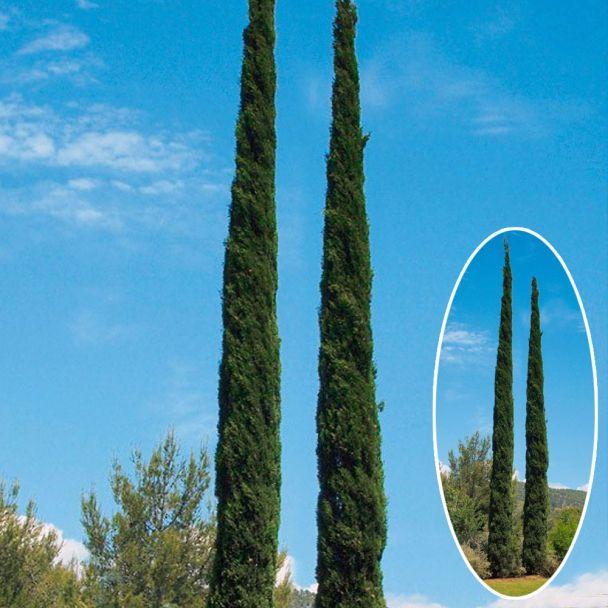 Toscana-Zypresse 'Pyramidalis'