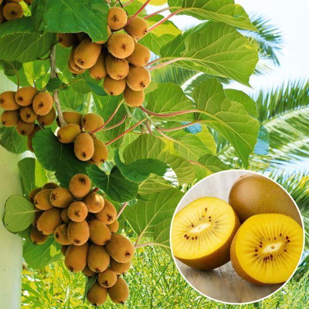 Gelbe Kiwi 'Exotic Sun'