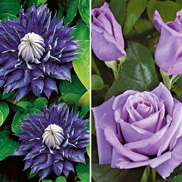 Spar-Set: 1 Rose 'Mainzer Fastnacht®' + 1 Clematis 'Multi Blue'