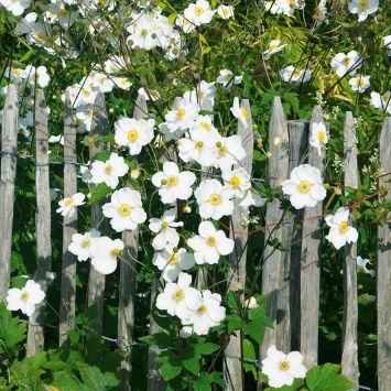 Herbst-Anemone Weiß