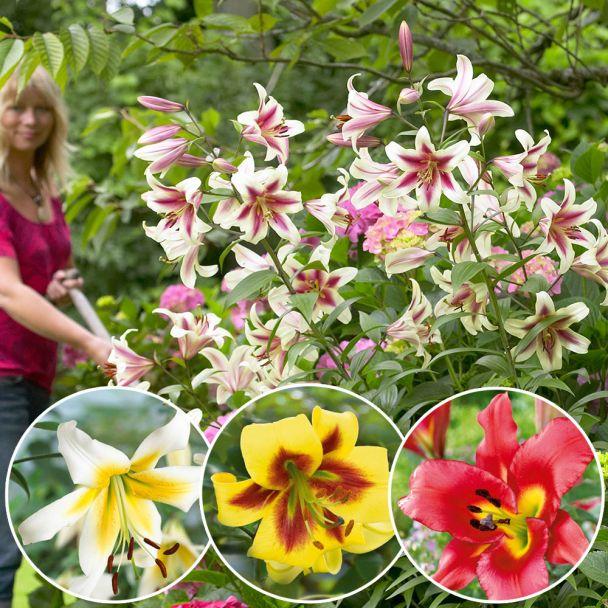 Set-Preis: 6 Riesen Baum Lilien