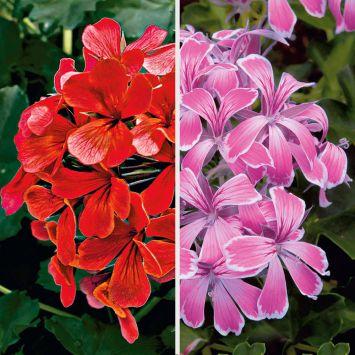 Echte Tiroler Hänge-Geranien 'Tirolia': Farbduo (3 x Rot und 3 x Pink)