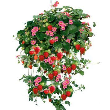Hänge-Erdbeere 'Rosalie'