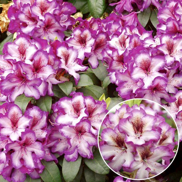 Rhododendron 'Hans Hachmann®'