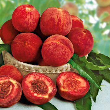 Roter Weinberg-Pfirsich 'Rubino'