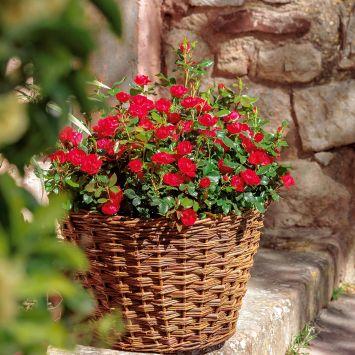 Rose Zepeti, Strauchrose