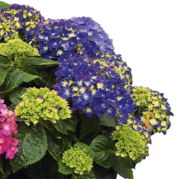 Hortensie 'Deep Purple Dance®'