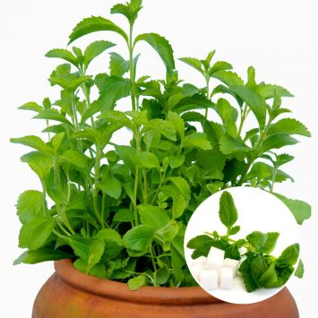 Süsskraut 'Stevia'