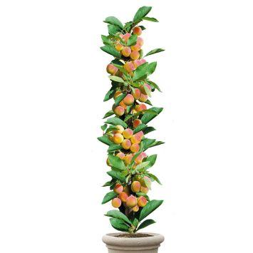 Säulenobstbaum Mirabellen-Aprikose 'Miracose®', zweijährig