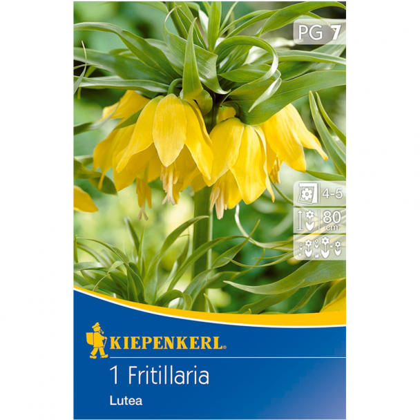 Kaiserkrone / Fritillaria 'Lutea' - Blumenzwiebel