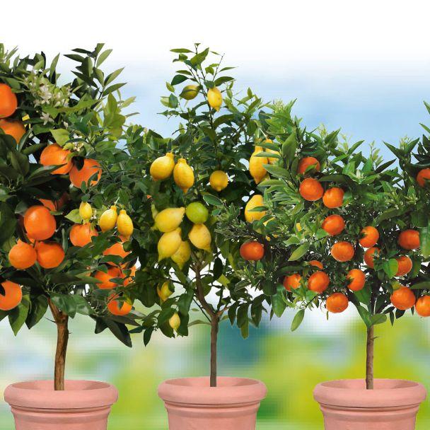 3 x Zitrusbäume - Orange, Zitrone, Mandarine