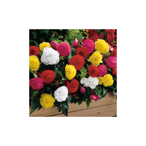 10 Gefüllte Knollen-Begonien - Blumenzwiebel