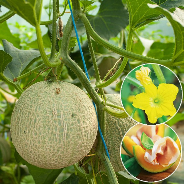 Mini-Honig Melone