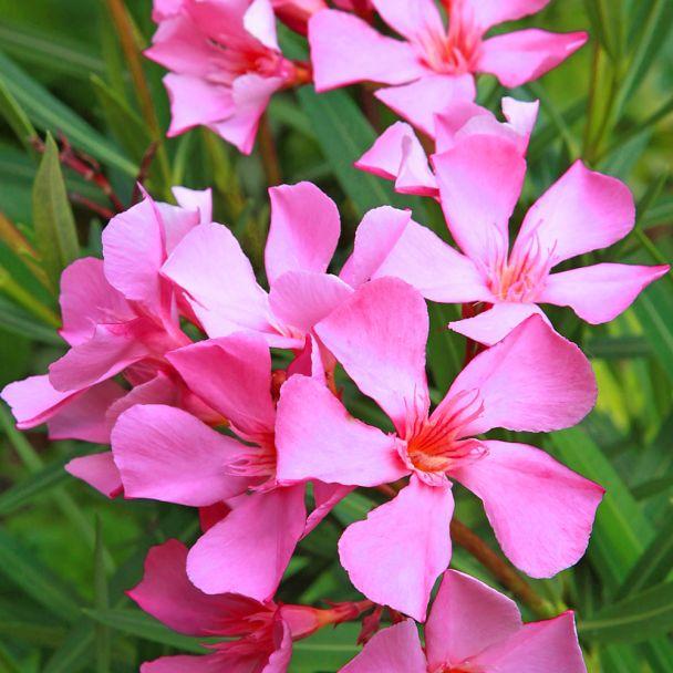 Duft- Oleander, Pink