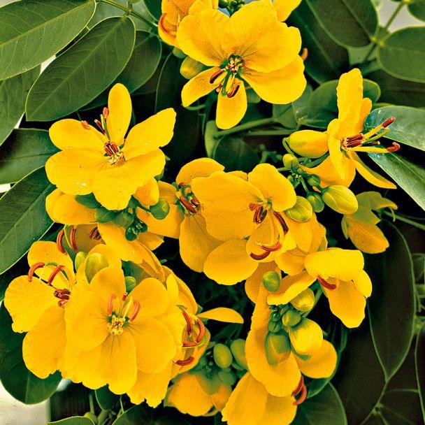 Goldgelbe Cassia