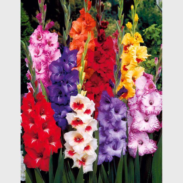 50 Riesen Luxus-Gladiolen 12-14 cm - Blumenzwiebel