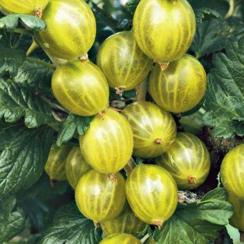 Stachelbeere 'Tatjana' dornenarm, grün