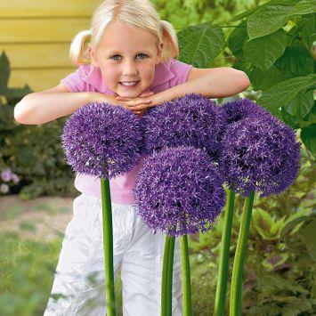 Riesen-Zierlauch Round and Purple