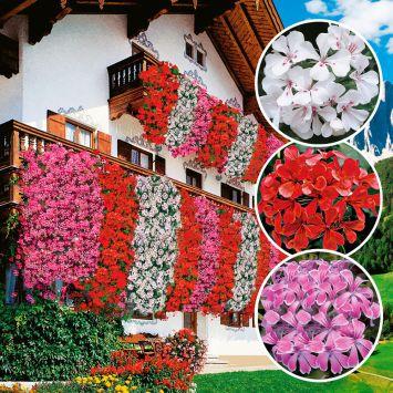 Setpreis: Echte Tiroler Hänge-Geranien 'Tirolia': Farbtrio (3 x Rot, 3 x Weiß, 3 x Pink)