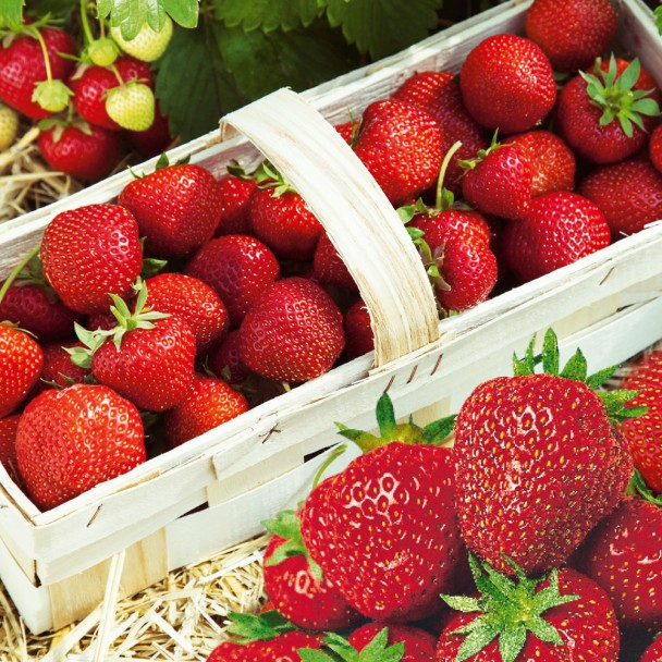 Feinschmecker-Erdbeere 'Senga®-Sengana®', Setzlinge, mittelfrüh