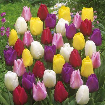Tulpen Mischung: 140 Blumenzwiebel
