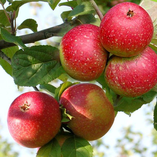 Apfel 'Rote Sternrenette'