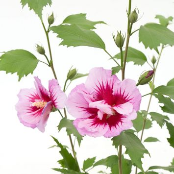 Säulen-Hibiskus 'Purple Pillar®'