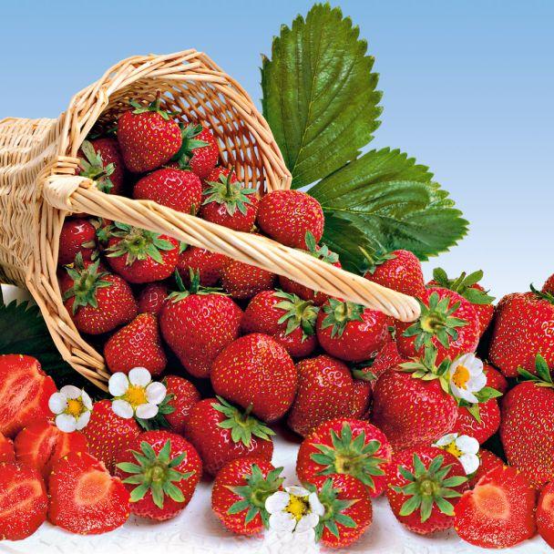 Erdbeere 'Mara des Bois®' als Setzlinge
