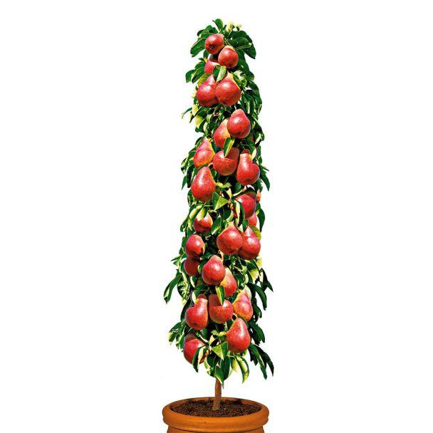 Säulenobstbaum Birne 'Decora', zweijährig