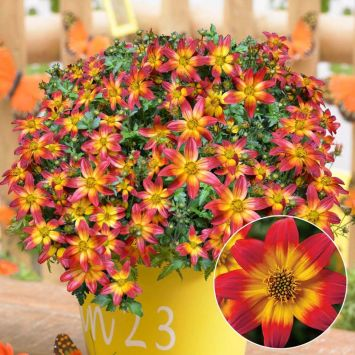BeeDance® 'Fire Wheel'