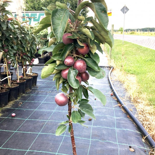 Säulen-Apfel Pomvital