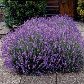 Duft-Lavendel, blauviolett