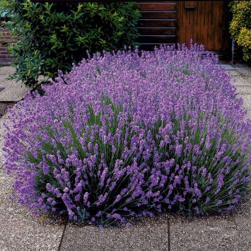 Duft-Lavendel Hidcote, blauviolett
