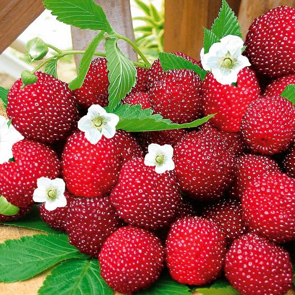 Erdbeer-Himbeere 'Red Beauty'