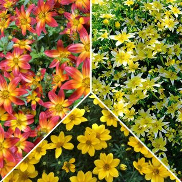 Setpreis: 3 Bidens, Taka Tuka®, Fire Wheel, Giant Sun Francisco