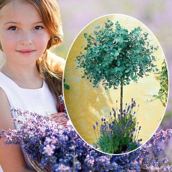 Set-Preis: 1 Eucalyptus Stamm + 3 Stück Lavendel 'Essence Purple'