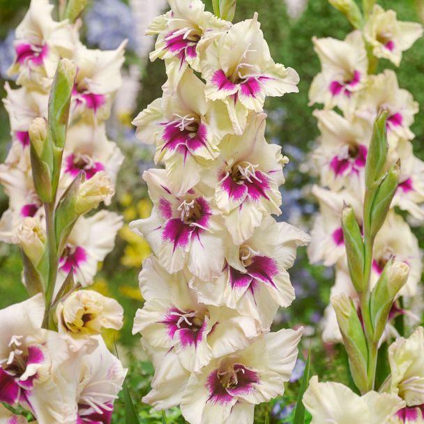 Gladiole Amber Mistique