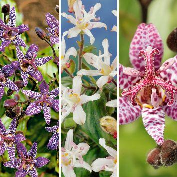 3 x Kröten-Lilien 'Lilly Paradise'