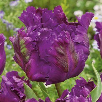 Tulpen Negrita Parrot