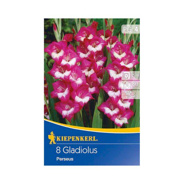 Butterfly-Gladiolen Perseus, Veilchenblau