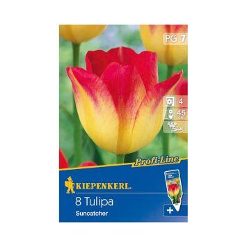 Tulpe `Suncatcher` - Blumenzwiebel