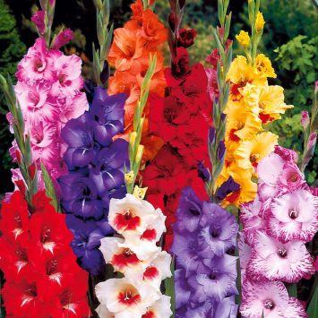 25 Luxus-Gladiolen 12-14 cm - Blumenzwiebel