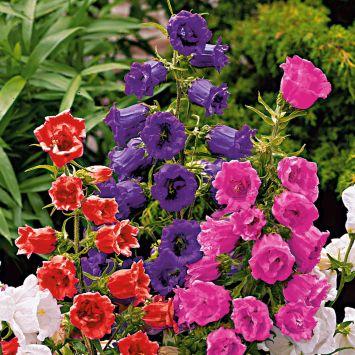 Glockenblumen, violettblau