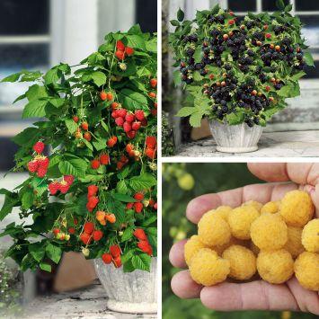 3 Zwerg-Beeren Lowberry®