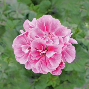 Hängegeranie Royal® Frosty Pink